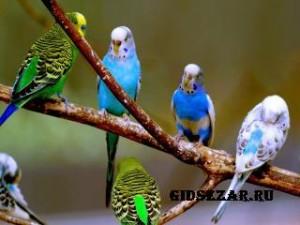 Нежные волнистые попугайчики для отличного настроения