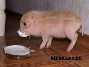 Домашние животные: минипиги